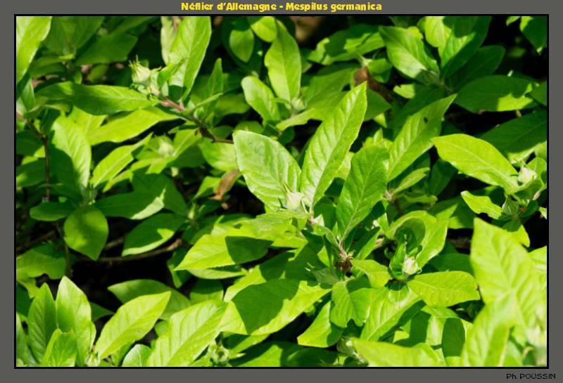 des néfles ? [Mespilus germanica] Neflier02