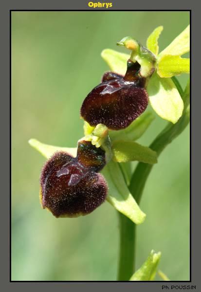 Ophrys aranifera Ophrys01