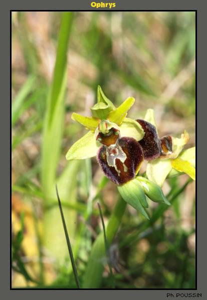 Ophrys aranifera Ophrys03