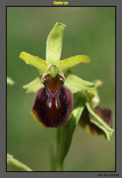 Ophrys aranifera Ophrys05