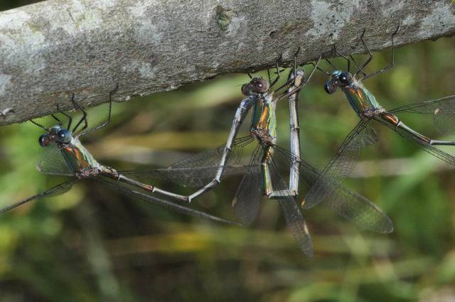 [Lestes viridis] Groupir, rester groupir Odonate26