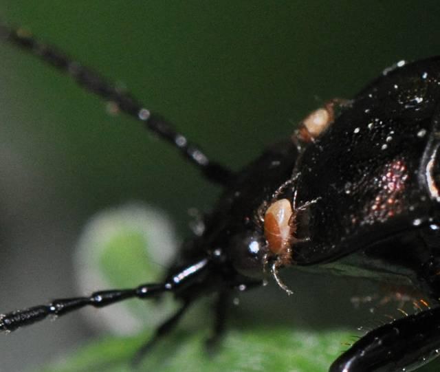 [Carabus (Carabus) granulatus] Coléoptère et parasites Scarab02