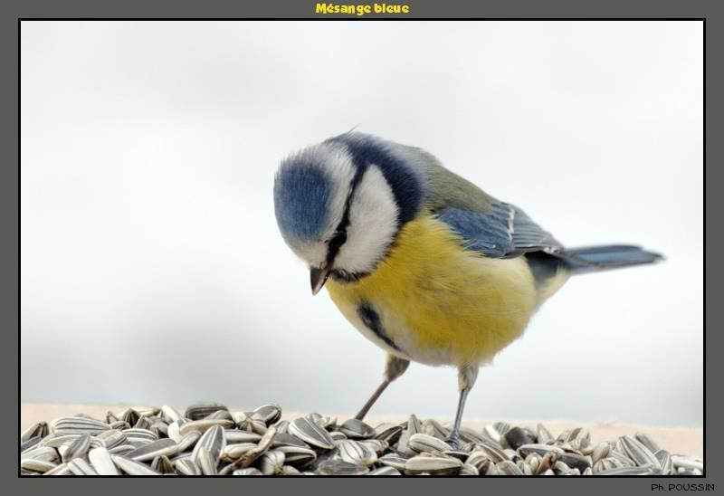 http://gds.123.fr/oiseaux/Mesange_bleue_5.jpg