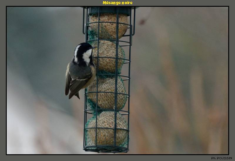Mésange Noire (Parus ater) Mesange_noire