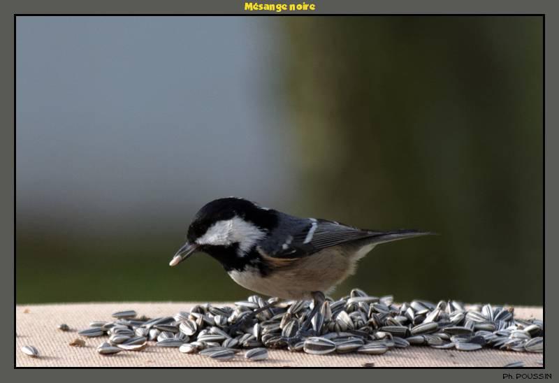Mésange Noire (Parus ater) Mesange_noire_2
