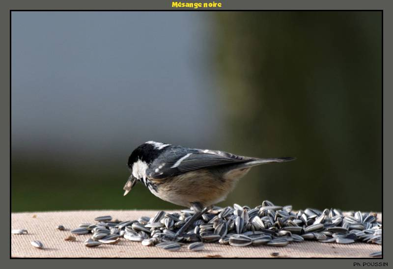 Mésange Noire (Parus ater) Mesange_noire_4