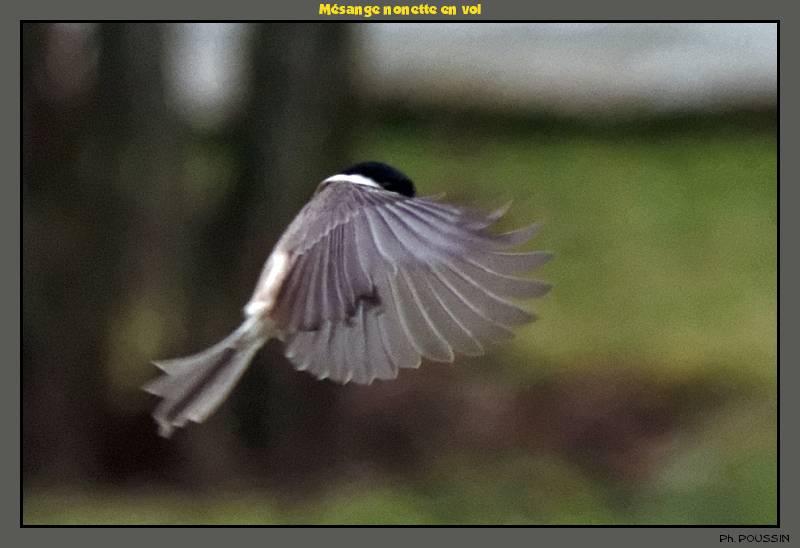 http://gds.123.fr/oiseaux/Msange_nonette_en_vol_01.jpg
