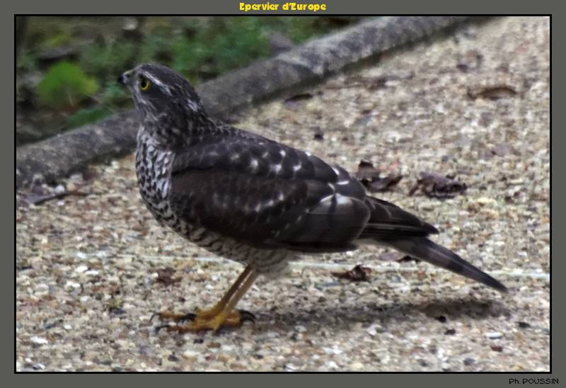 Epervier d'Europe (Accipiter nisus) Rapace_01