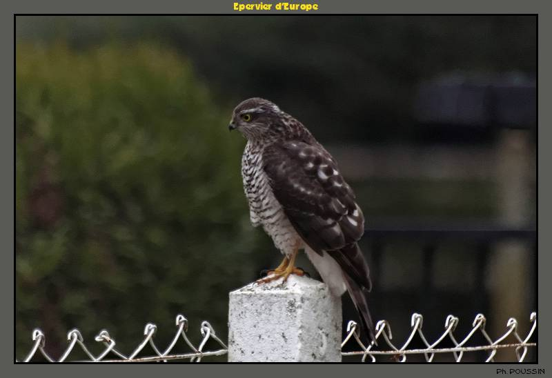 Epervier d'Europe (Accipiter nisus) Rapace_02