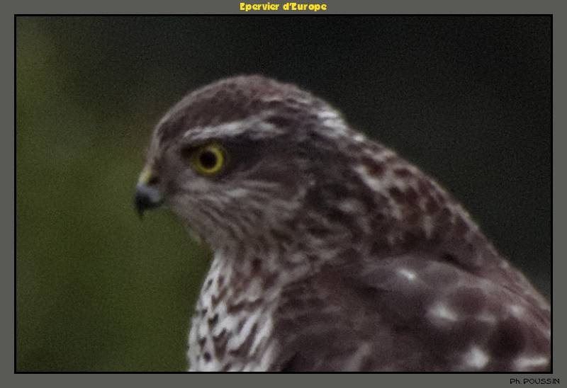 Epervier d'Europe (Accipiter nisus) Rapace_02b